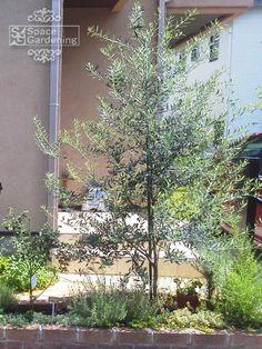 植栽 シンボルツリー 常緑樹 オリーブ