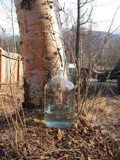 Birch sap tap