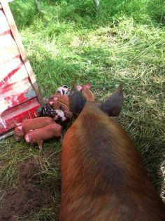 7 piglets on the Ballymaloe Farm