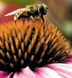 A bee collects pollen from an echinacea purpurea plant. Your garden will thank you for it, as will the birds and the bees. They need our help, too, to stay healthy and happy in our increasingly concrete society.