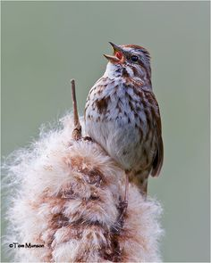 "The song sparrow is brown-backed, with its whitish underparts heavily streaked with brown and a large brown central spot on the breast. Male and females are 5 to 7 inches long and are similar. In flight the bird pumps its longish tail. It sings throughout spring and summer. A sweet, variable song, it was rendered by Thoreau as ""Maids! Maids! Maids, hang up your teakettle-ettle-ettle,"" which expresses the swing and tempo."