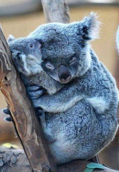 The only thing cuter than a koala.is a koala.holding another koala Super Cute Animals, Cute Baby Animals, Funny Animals, Cutest Animals, Funny Koala, Animal Babies, Koala Meme, Baby Wild Animals, Mother And Baby Animals