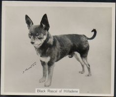 Look at the shape of his head. So different than from todays chi's.  John Sinclair Champion Dogs 2nd Series (Large) # 21 Mexican Chihuahua