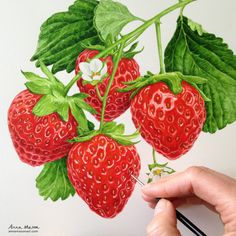 Here's an older and, way smaller, strawberry painting from a couple of years ago. I love how cute these are but my heart is with the BIG ones (see yesterday's post for those!). 🍓❤️ Watercolor Fruit, Fruit Painting, Ceramic Painting, Watercolour Painting, Watercolours, Fruit Illustration, Botanical Illustration, Food Illustrations, Botanical Drawings