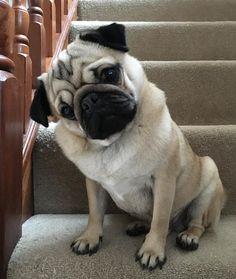 I'm helping nana with the cleaning!!  #purepugspp #pug #pugs #pugsofinstagram #pugbasement #pugsproud_feature #badasspugclub #bubblebeccahat #cupcake_pug #dailydoseofpugs #eddthepug #flatnosedogsociety #gilesfriends #heyportiapickme #henrys1inamillion #itslolathepug #lolasfotw #lacyandpaws #mysquishyliciousfriends #puglife #speakpug #squishyfacecrew #thetomcoteshow #zerozeropug by alfiethepug_beat