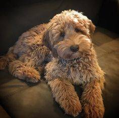 In this article, we will be discussing Goldendoodle grooming. We will outline the most important steps on how to groom a Goldendoodle, and we will even touch a little bit on Goldendoodle grooming styles. Goldendoodle Haircuts, Goldendoodle Grooming, Dog Grooming, Labradoodle Dog, Australian Labradoodle Puppies, Mini Goldendoodle Puppies, Cute Puppies, Cute Dogs, Dogs And Puppies