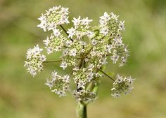 Grass & Wild Flowers - Bearsted Woodland Trust Cow parsley