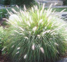 Hameln Ornamental Grass Pennisetum alopecuroides hameln dwarf fountain grass ornamental similar ideas workwithnaturefo