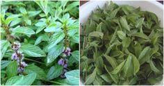 Mojito, Plants, Syrup, Plant, Planets
