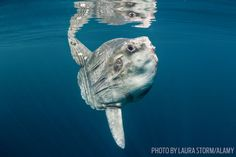 Mola Mola Oceanic Sunfish Underwater Photo and Fun Facts