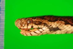 Cause of Deadly Disease in Snakes Identified - http://scienceblog.com/479640/cause-of-deadly-disease-in-snakes-identified/