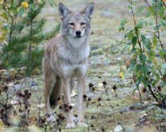 Mendocino, California, where wildlife is being killed by the Wildlife Services indiscriminately every year using tax-payers money. Each year, Wildlife Services traps and kills millions of animals - approximately 80,000 in California - on behalf of commercial agriculture. Picture, coyote-CC-Jethro-Taylor-article-image2