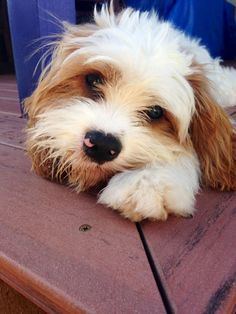 This is Honey. My six month old Cavalier x Poodle