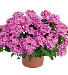 Verbena 'Vanessa Compact Pink' Verbena, Compact, Plants, Pink, Garden Planning, Plant, Pink Hair, Roses, Planets