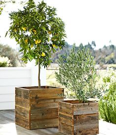 Rustic Planter & with the Lemon Tree!