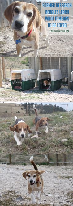 Former research beagles learn companionship at Kindness Ranch Animal Sanctuary.