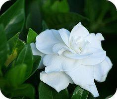 Gardenia: Kaapse jasmijn of knoopsgatbloem met witte bloemen die lekker geuren. avondbloeier