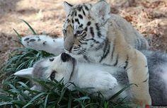 Photos de bébés loup et tigre très amis - Forum ALGERIE