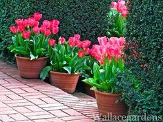 Tulip frenzy.