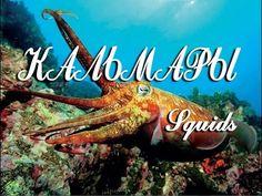 Кальмары — Squids