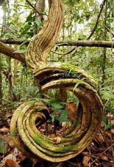 Spiral tree trunk - gorgeous