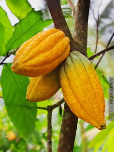 REAL Chocolate Tree Theobroma Cacao #THE-CAC