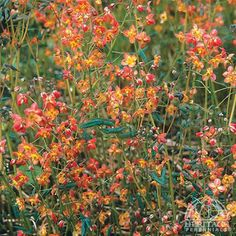 (='Orangekönigen') Barrenwort are superb shade-garden plants, excellent for edging or groundcover, and deserving much wider use in our gardens. In this selection, plants form a bushy, evergreen mou.