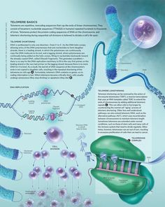 Telomeres have been linked to numerous diseases over the years, but how exactly short telomeres cause diseases and how medicine can prevent telomere erosion are still up for debate. From The Scientist Cell Biology, Ap Biology, Molecular Biology, Teaching Biology, Science Education, Life Science, Science And Nature, Biology Lessons, Medical Laboratory