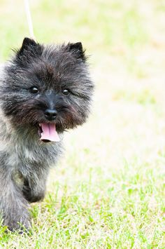 Cairn Terrier at Hickories Circuit Dog Show 2014 at Sampson State Park in Upstate, NY. Cairn Terrier Puppies, Terrier Breeds, Terrier Mix Dogs, Dog Show, Cairns, Westies, Mans Best Friend, Yorkie, State Parks