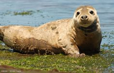 Marine Wildlife Encyclopedia: Gray Seal