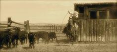 Photographer: Carol Greet                        Cowboy roping