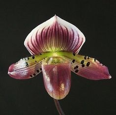Paph-Fremont-Peak-HOF-x-Hsinying-Rubyweb-Raisin-Orchid-Plant-in-bud