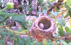 hummer nest with hatchling Hummingbird Nests, Hummer, Coconut, Lobsters, Hama