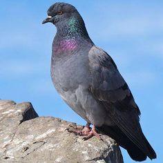 Rock Dove. Saw some on a barn near Johnson Bridge in De Queen
