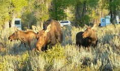 Gros Ventre Campground in Grand Teton National Park-- Moose territory.