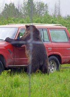 Alaska Wildlife Conservation Center #5 by Ashley Harper, via Flickr