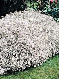 Gipskruid Baby's Breath, Summer Sparkles, Gypsophila Summer Sparkles~ full sun perennial, zone sheer after bloom to clean up and promote re-bloom. Flower Garden, Organic Gardening, Planting Flowers, Plants, Outdoor, Perennials, Landscaping With Rocks, Garden Planning, Growing Flowers