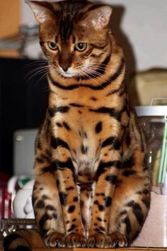 This so looks like the way I remembered Gandalf. He was a beautiful Bengal, whose fur glittered with gold specks in sunlight.