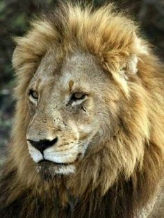 the lions of sabi sand brothers in blood full documentary
