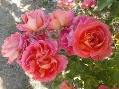 Rose Sales Online - LA JAGO - DELBARD SHRUB Rose, $21.50 (http://www.rosesalesonline.com.au/la-jago-delbard-shrub-rose/)