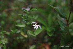 수염가래꽃