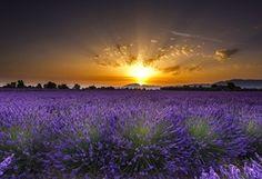 Sunrise over de lavender field in Valensole, France Lavender Fields, Lavender Flowers, Lavender Cottage, Flowers Nature, Landscape Photos, Landscape Paintings, Sunrise Wallpaper, I Love The World, Valensole