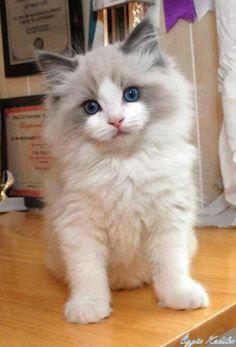 Gorgeous Ragdoll Kitten ~ fluffy white and pale gray