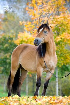 Thoroughbred Belarusian Groshadkina fall photo by Alexis Khrushchev ... blended yellow in autumn Color)*