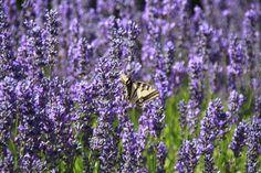 everyone enjoys lavender in bloom. Playground, Family Travel, Lavender, Salt, Bloom, Island, Adventure, Spring, Nature