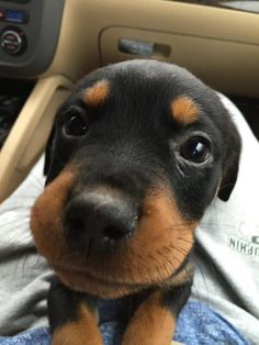 """Check out our internet site for additional details on """"rottweiler puppies"""". It is actually an outstanding place to find out more. Rottweiler Facts, Rottweiler Training, Rottweiler Puppies, Dog Training, Dressage, Basenji Puppy, Rottweilers, Animals And Pets, Cute Animals"""
