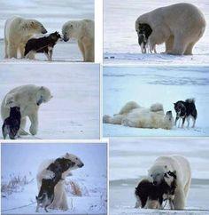 Ijsbeer met hondenvriendje