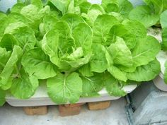 Full-grown hydroponic sawi ready to be harvested. Home Hydroponics, Lettuce, Harvest, Aqua, Vegetables, Garden, Water, Garten, Lawn And Garden