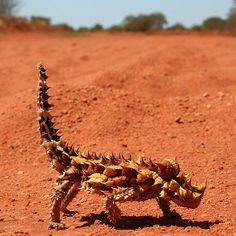 El diablo espinoso, o moloch, es natural de los desiertos australianos. Además de estar cubierto de la cabeza a los pies por puntiagudas espinas, el moloch es capaz de cambiar de color con el fin de camuflarse en su entorno. En verano es de tonos pálidos y en invierno de tonos oscuros. #espinoso #moloch #desierto http://www.pandabuzz.com/es/animal-del-dia/diablo-espinoso