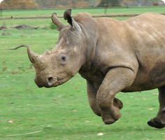Southern white Rhino at Cotswold Wildlife Park